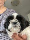 puppy all that shih tzu 7 weeks.jpg