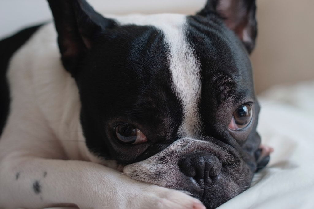 french bulldog with seizures treated with homeopathy