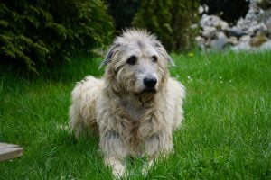 unhappy wolfhound with lyme disease unable to stand
