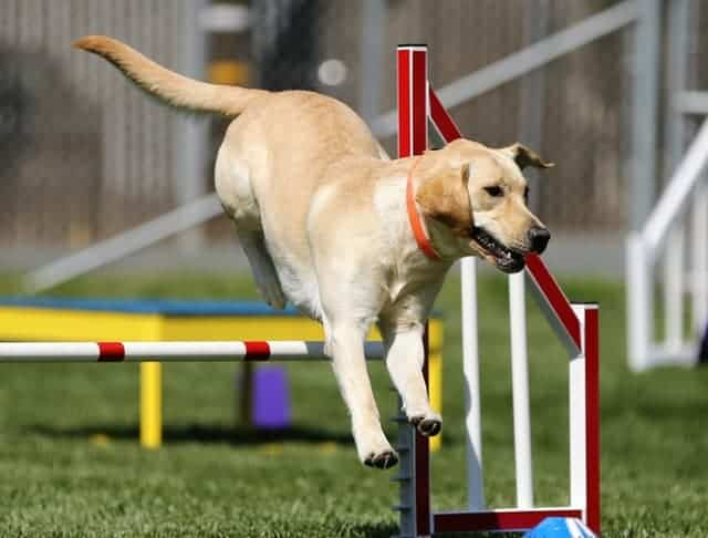 How To Improve Your Dog's Performance in Agility