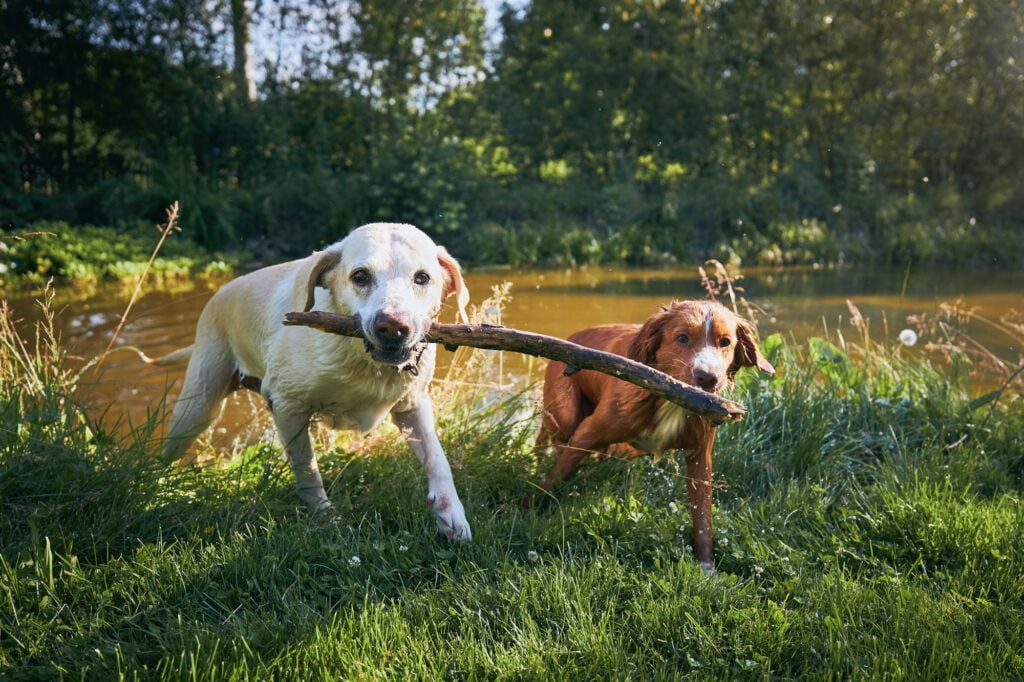 Two dogs playing with stick on riverside