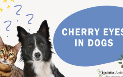 How To Treat Cherry Eyes In Dogs
