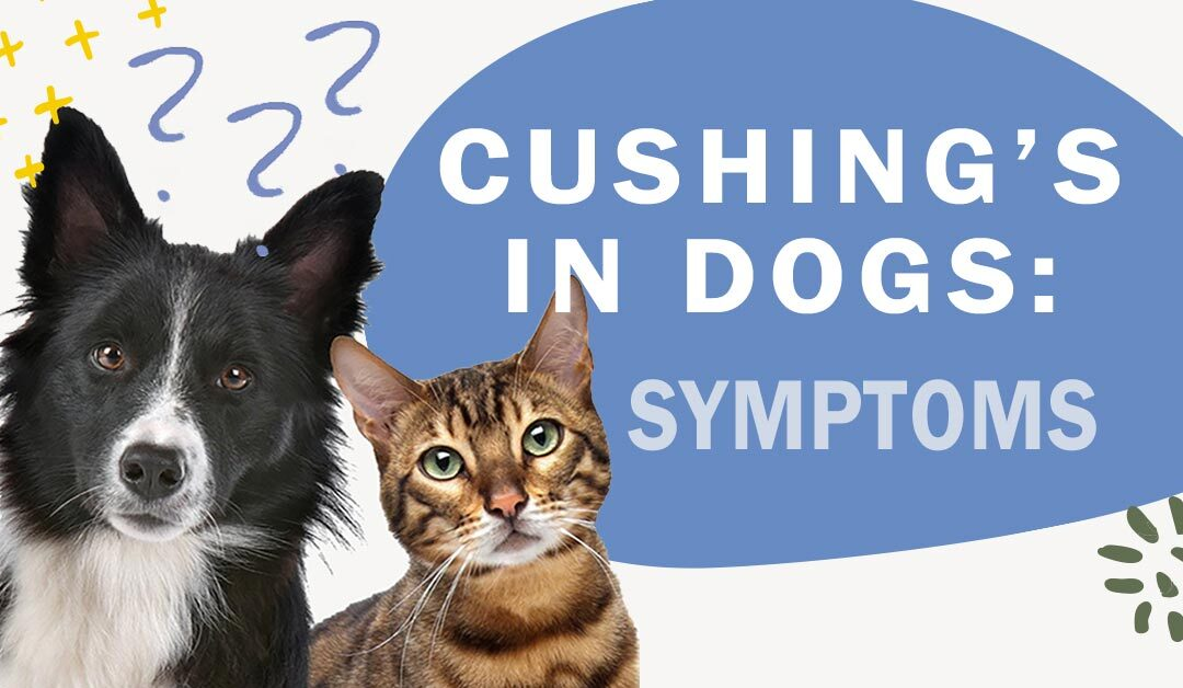 What are the Symptoms of Cushing's Disease?
