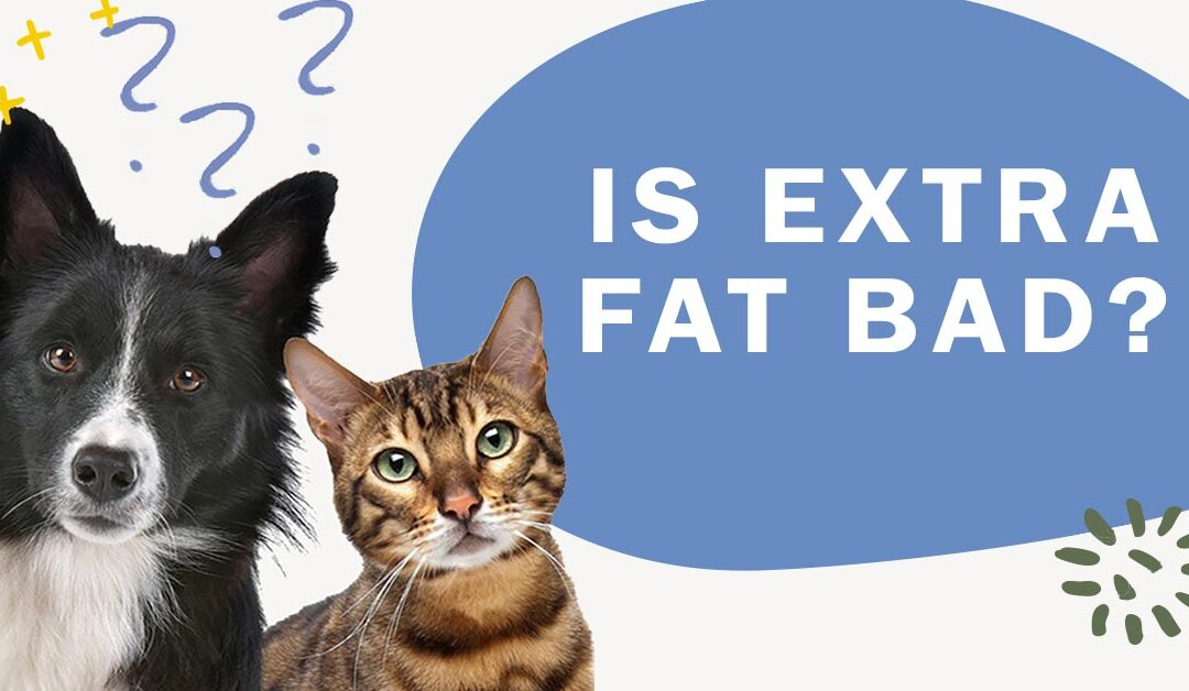 Can Extra Fat Affect My Cat's Health Condition?
